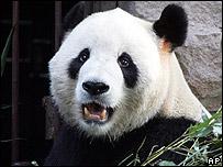 Gu Gu the panda