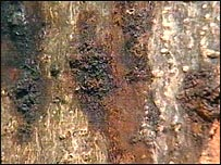 Chestnut tree affected by bleeding canker