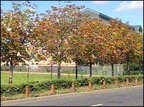 Parasite-ridden chestnut trees