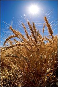 Wheat. Image: Eyewire
