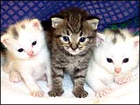 Hypoallergenic kittens (photo courtesy of Allerca)