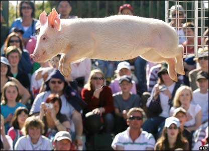 A pig at the Royal Melbourne Show