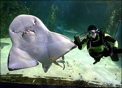 A divers and ray shark at the Sydney Aquarium