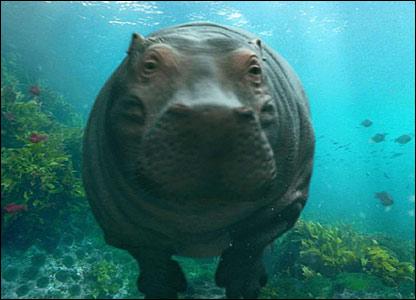 BBC One - Hippos
