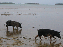 Fishing pigs (Picture by Nick Squires)