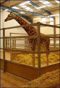 Yoda the Rothschild giraffe: Picture Paignton Zoo