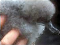 Manx shearwater chick (Pic: National Trust for Scotland)