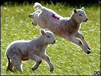 Lambs in the countryside