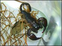 Scorpion (BBC)