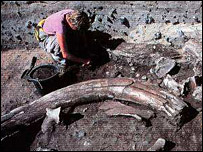 Archaeologist and mammoth tusk at Lynford, Norfolk  Image: Nigel Larkin and Phil Rye