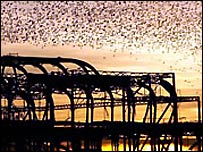 Starlings above the derelict West Pier in Brighton (pic from RSPB)