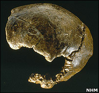Three cranial bones discovered at the Barnfield Gravel Pit at Swanscombe, Kent. Image: Natural History Museum