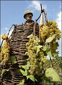 Grape harvest in Kakheti region of Georgia