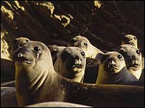 Elephant seal pups, San Miguel Island, Image: Rolf Ream NMML