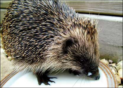 Steve McAllister took this picture of a baby hedgehog who came to visit his garden in Pontprennau