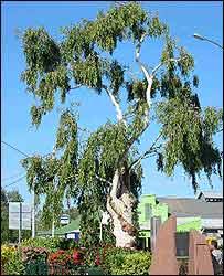 Tree of Knowledge, Barcaldine (picture courtesy of Barcaldine Shire Council)