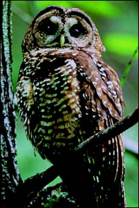 Northern spotted owl.  Image: Wilderness Committee