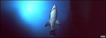 Grey nurse shark (Humane Society International)