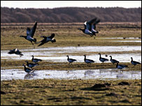 Barnacle geese [Pic: RSPB Scotland]