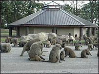 The new baboon home at Knowsley Safari Park