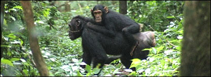 Baby chimp (BBC)