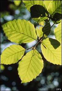 Beech tree leaves (Image: Science Photo Library)