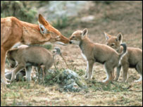 Ethiopian wolf with its cubs (Image: University of Oxford)