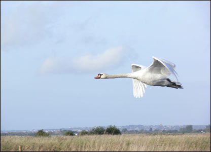 Nick Morgan  from Caerleon captured this picture of a swan in flight at the Newport Wetlands Reserve
