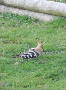 Martin Chambers spotted this rare Hoopoe bird on his smallholding just outside Carmarthen