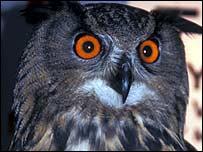 An eagle owl