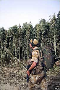 Isaf soldier passes marijuana forest outside Panjwayi, Kandahar Province
