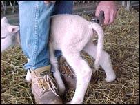 Lamb having tail docked