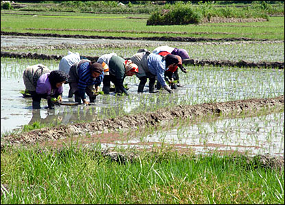 Women gathering rice. Mazandaran, northern Iran. Photograph by Babak Borzouyeh.