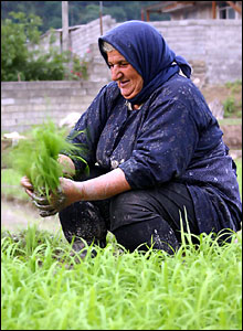 Tending rice field. Photograph by Babak Borzouyeh.