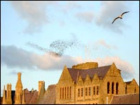 Starlings flock over Aberystwyth' old college (photo courtesy Sue Reeves)