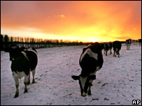 Cows in a snow-covered field as sunset falls in Bearsted, near Maidstone
