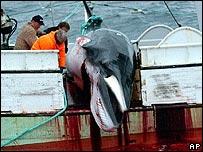 Minke whale hunted. Image: AP