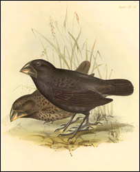 Galapagos finches from Darwin, C. R. ed. 1839 (Cam Uni)