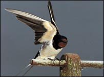 A swallow lands on a perch