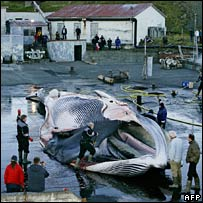 Workers cut up the fin whale