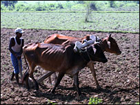 Oxen in Ara, Bihar