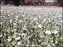 Opium field