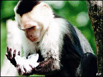 Capuchin monkey (library)