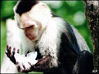 Capuchin monkey (library)