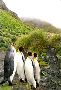King penguins on Macquarie Island. Photo: Karah Wertz