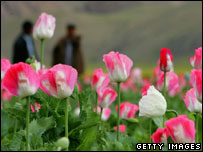 Poppy crop in Afghanistan