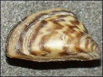 Zebra mussel, picture courtesy of the US Geological Survey