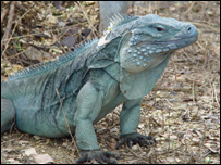 Blue iguana (Image: Matt Goetz/Durrell)