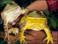 American bullfrogs  Image: ZSL