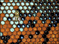 Bee  Image: Ryszard Maleszka